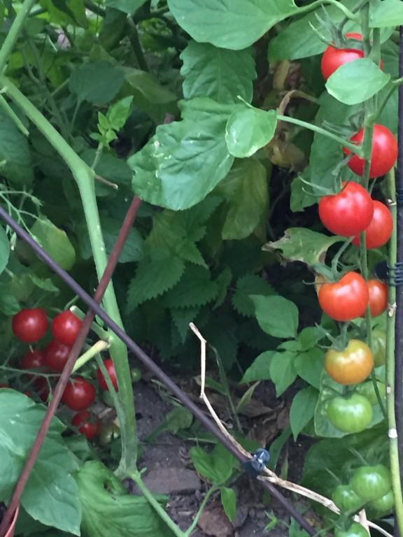 Tomates sous serre