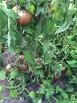 Tomates prises en photo par un client de Jardin Couvert