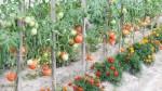 Production de tomates sous serre Jardin Couvert