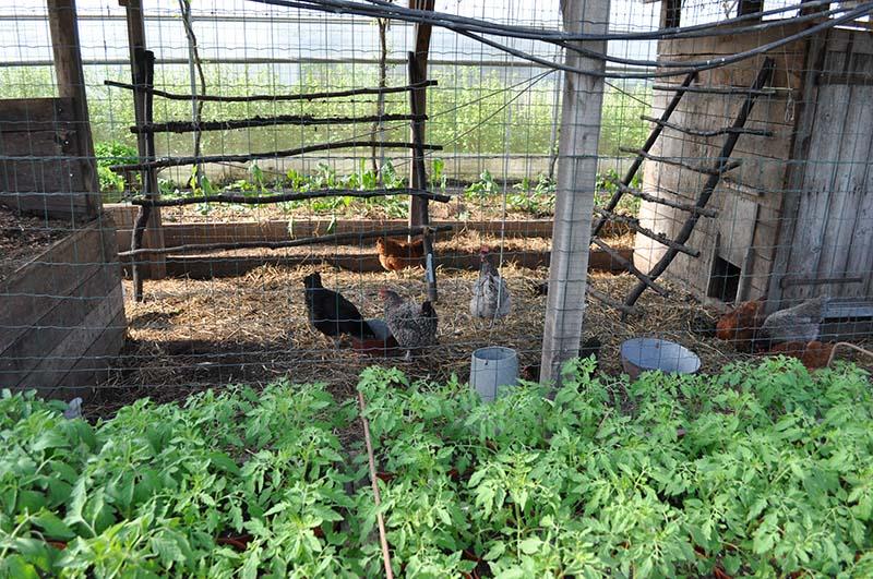 poule permaculture
