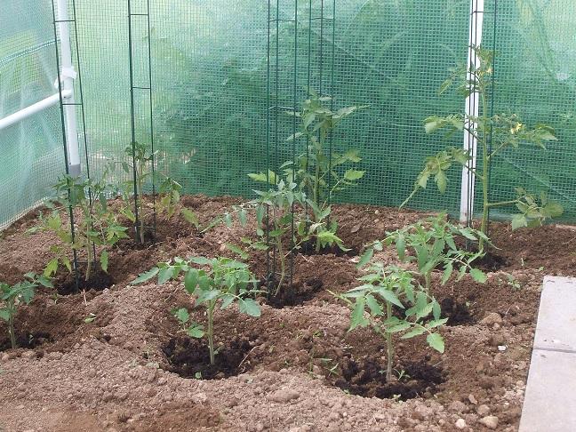 comment cultiver des tomates sous serre blog jardin couvert conseils jardinage et serres. Black Bedroom Furniture Sets. Home Design Ideas