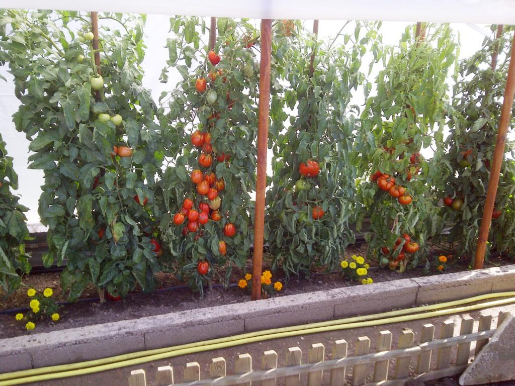 Les vari t s de tomate sont extr mement nombreuses et for Vers dans les tomates