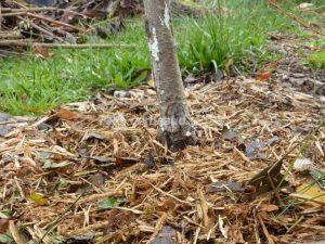paillage arbre