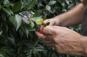 tailler arbuste mai