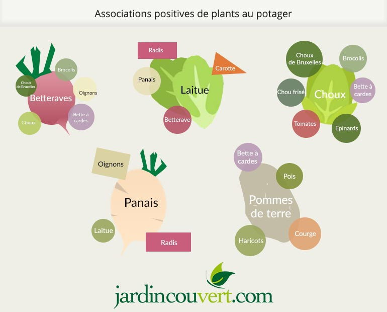 Associations de plants au potager