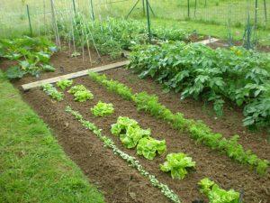 potager légume