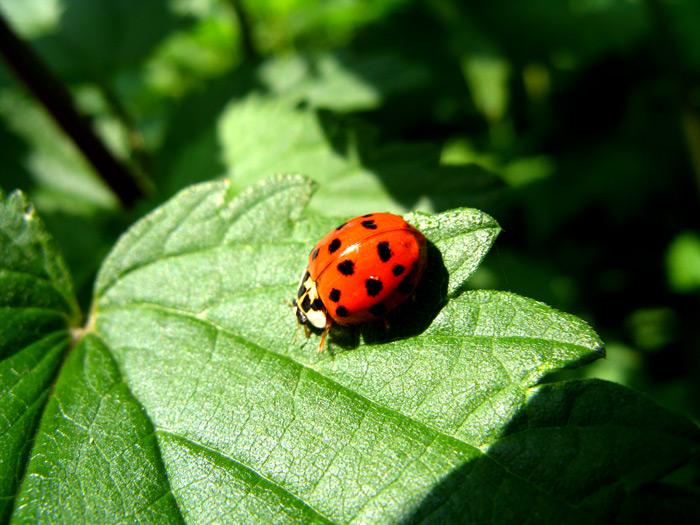 Coccinelle en plein travail : un des insectes auxiliaires