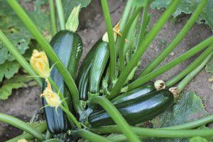 courgette jardin