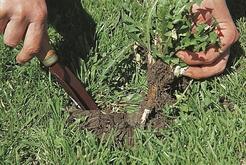 désherber pelouse