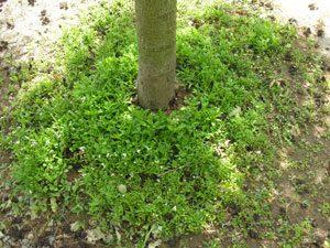 désherber arbre