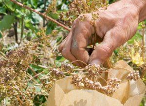 récolter graine jardin