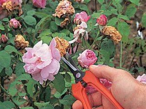fleur jardin fanée