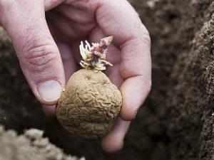 planter pomme de terre