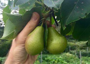 récolter poire