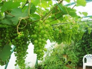 Des raisins sous une serre de jardin, c'est possible !