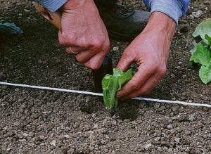 repiquer laitue jardin