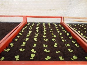 semis légume