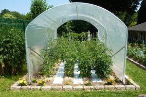 tomate sous serre de jardin