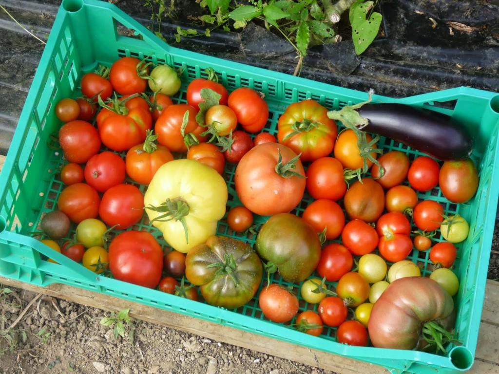 Tomates produites dans une serre tunnel