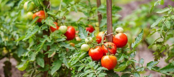 planter tomate