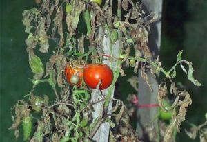 tomates mildiou