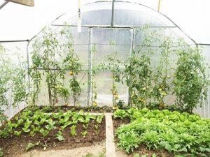 tomates sous abris